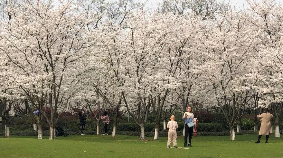 重庆樱花世界景区宣传推广涉嫌过度炒作